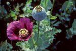الافيون (Opium)