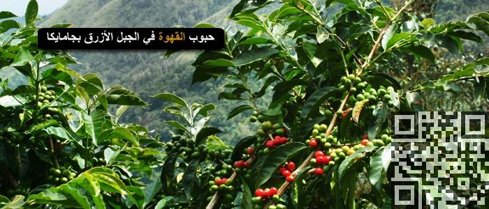 حبوب القهوة في الجبل الأزرق بجامايكا