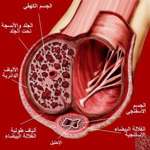 الجهاز التناسلي الذكري تشريحيا