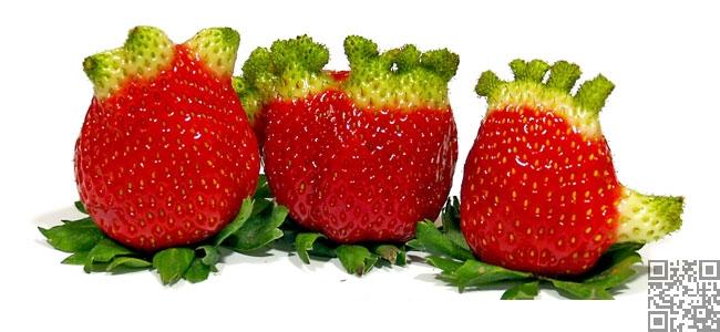 فراولة كبيرة الحجم سريعة النمو ولكن بلا طعم