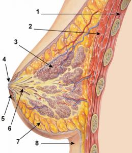 الثدي شكل تخطيطي للثدي .